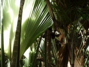 coco der mer tree