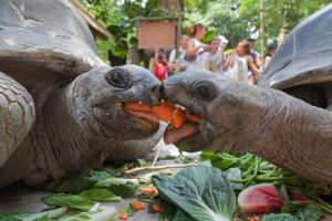giant tortoise eat