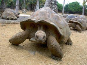 giant tortoise5